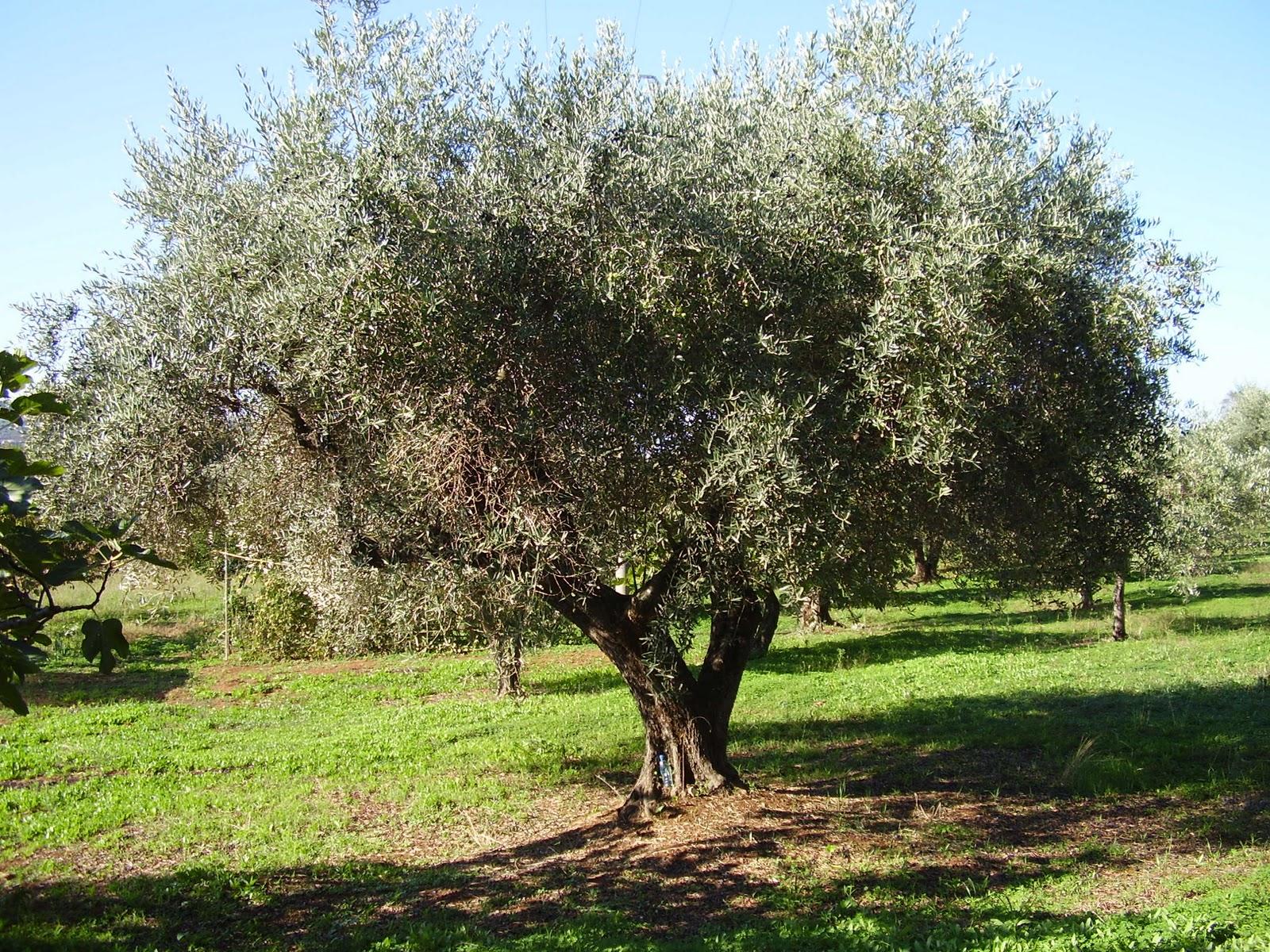 parquet olivo fratelli pellizzari