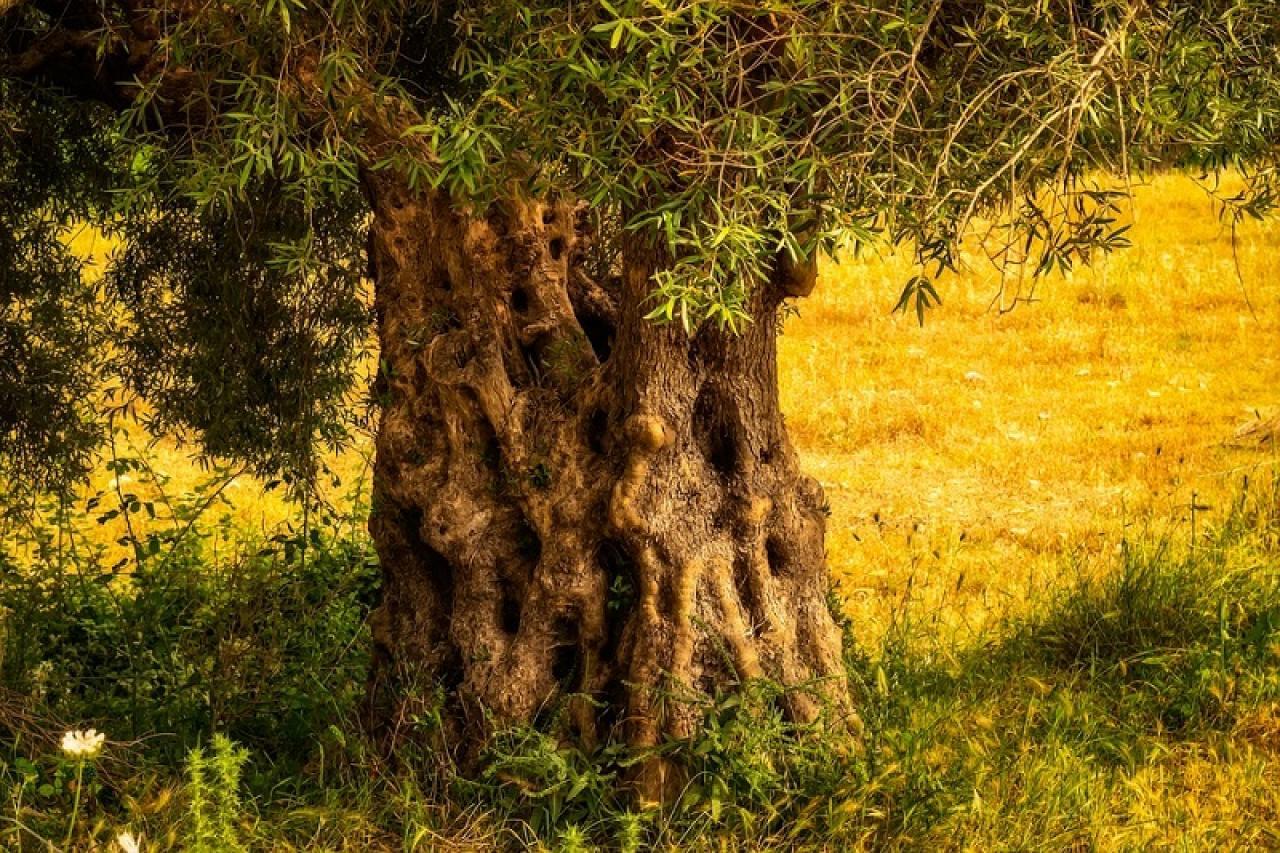 Pianta d olivo in giardino a verona consigli degli esperti